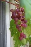 Grapes_011